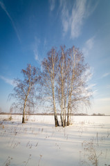 четыре березы в поле зимним днем
