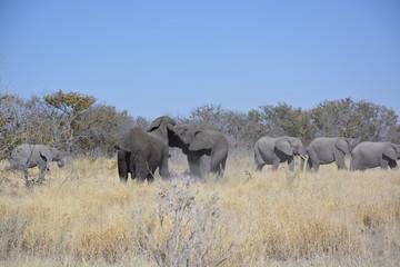 Herd of elephants, Halali, Etosha National Park, Namibia, Africa