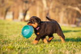 Rottweiler puppy holding a bowl in his mouth - 77821665