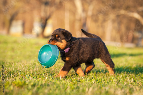 Foto op Canvas Dragen Rottweiler puppy holding a bowl in his mouth