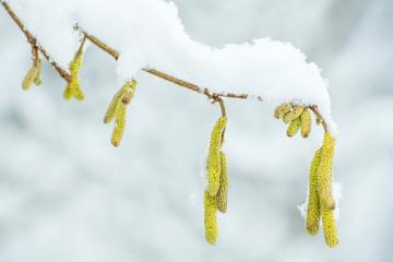 Haselnussblüte im Schnee