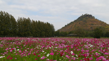 4k timelapse of pink Cosmos flower field with mountain and sky