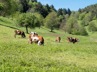 Paysage vaches dans pré