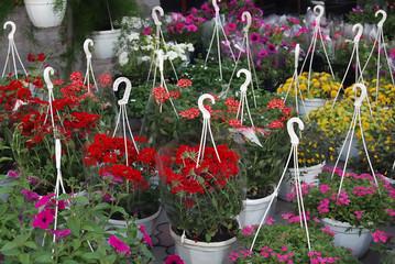 summer flowers in pots