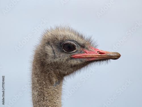 Plexiglas Struisvogel Strauß (Struthio camelus)
