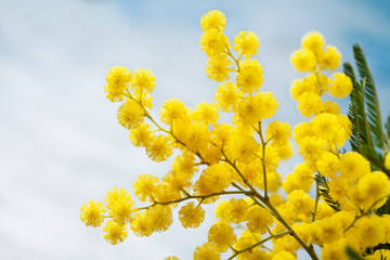 Brunches of mimosa (silver wattle) on wooden background