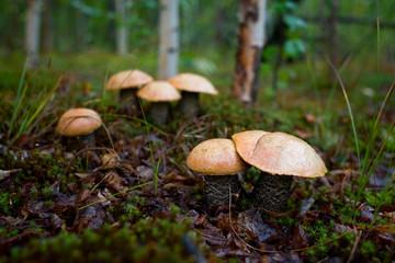 Север грибы подосиновик лес