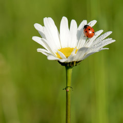 ladybug on the chamomile flower