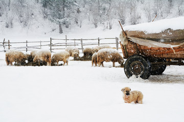 Shepherd puppy dog and sheeps in the snow