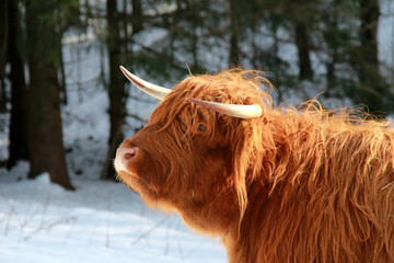 schottisches hochlandrind