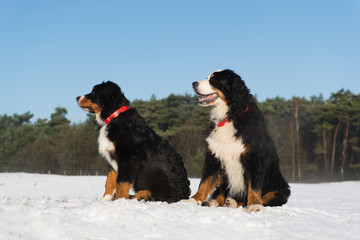 Berner Sennenhunden in snow landscape