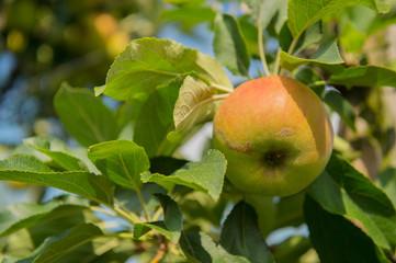 Low apple trees