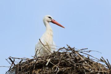 White stork on nest