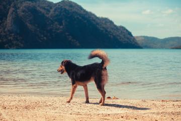 Dog walking on tropical beach