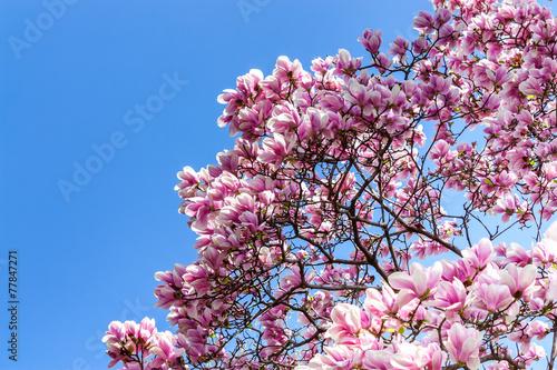 Deurstickers Magnolia Magnolie