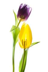 Tulpen im Querschnitt - lila und gelb