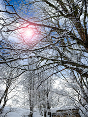 Cold Sun Between Snowy Branches