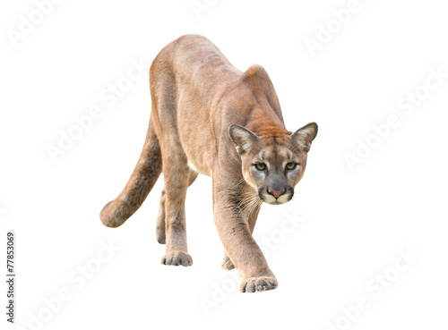 Fotobehang Leeuw puma isolated