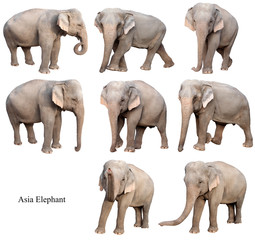 female asia elephant isolated