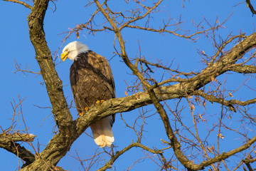 Bald Eagle in Tree Calling Mate