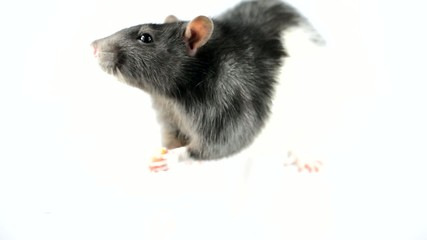 Black rat eating sausage on white background