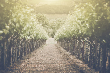 Retro Vineyard with Sunlight