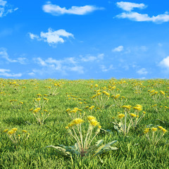 Field of dandelion