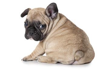 French bulldog puppy sitting on white background