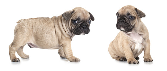 French bulldog puppies isolated on white background