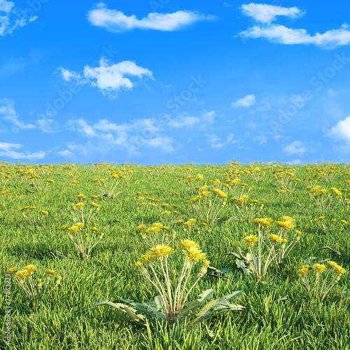 Field of dandelion