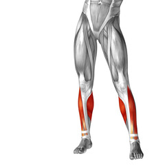 Conceptual 3D human front lower leg muscle anatomy