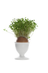 growing cress