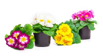 Blumentöpfe, bunte Primeln