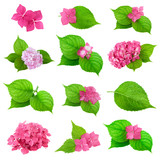 green leaves pink flower hydrangea collection