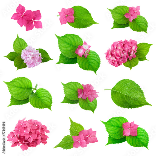 Deurstickers Hydrangea green leaves pink flower hydrangea collection