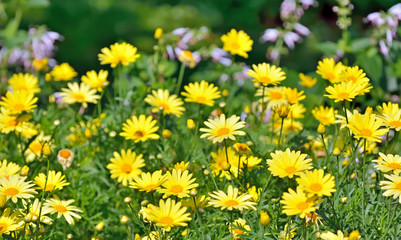 Golden Marguerite, Anthemis tinctoria