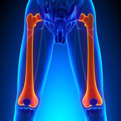 Femur Bone Anatomy with Circulatory System