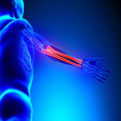 Radius Ulna Bones Anatomy with Circulatory System