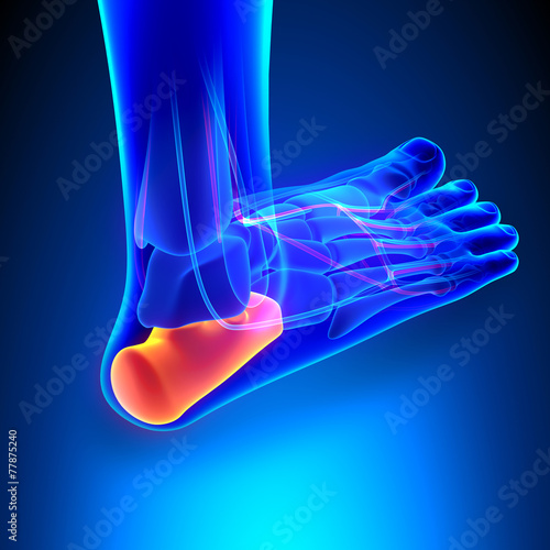 Calcaneus Bone Anatomy with Ciculatory System - 77875240