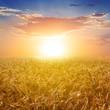 sunset wheat field scene