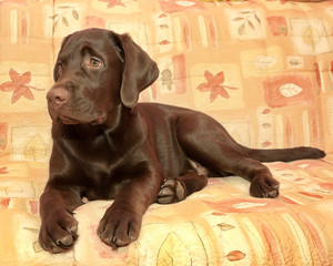 puppy chocolate Labrador Retriever (age 5,0 months) lying on the