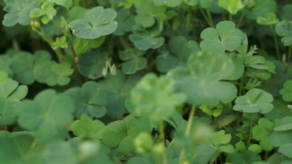Clover Plant Close Up Dolly