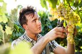 man harvesting grapes under sunset light