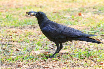 wilderness black crow bird standing on grass field catching some