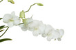Pure White orchid flower on isolated