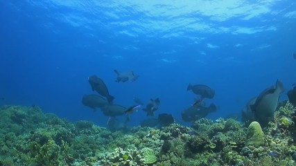 A coral reef with a shoal of Humphead Parrotfish