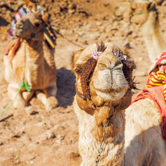 single-humped camels in  desert, Egypt