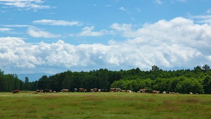 Clouds and cow herd time lapse in summer