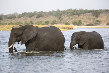 Wild african elephant cow crossing a river