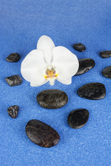 Black spa stones and white orchid flowers over blue background.